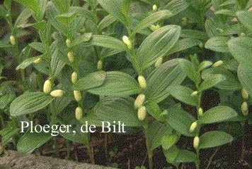 Polygonatum humile
