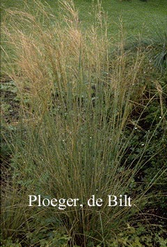 Stipa capillata