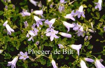 Campanula portenschlagiana 'Lieselotte'