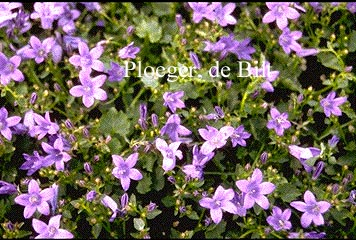 Campanula portenschlagiana 'Resholt Variety'