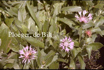 Centaurea montana 'Carnea'