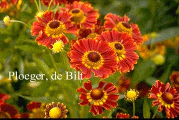 Helenium 'Koenigstiger'