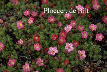 Saxifraga 'Peter Pan'