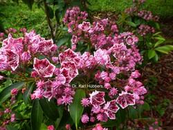 Kalmia latifolia 'Jans Delight'