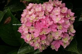 Hydrangea macrophylla 'Youmefive' (TOGETHER)