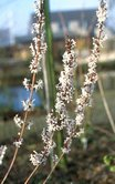 Abeliophyllum