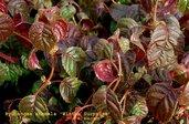 Hydrangea anomala 'Winter Surprise'