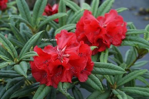 Rhododendron 'Double Winner'