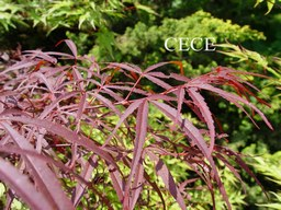 Acer palmatum 'Greenthumb North-Carolina Red'