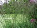 Molinia arundinacea 'Fontäne'