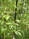 Phyllostachys nigra