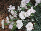 Dianthus 'Haytor White'