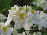 Azalea 'Persil'
