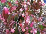 Euonymus grandiflorus 'Red Wine'