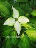 Cornus kousa 'Eva's Beauty'