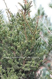 Taxus baccata 'Amersfoort'