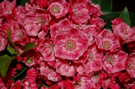 Kalmia latifolia 'Nancy'