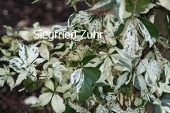 Parthenocissus quinquefolia 'Star Showers'