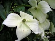 Cornus kousa 'Moonbeam'