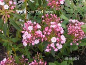 Kalmia latifolia