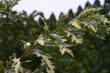 Quercus cerris 'Variegata'