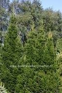 Abies alba 'Pyramidalis'