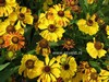 Helenium 'Zimbelstern'