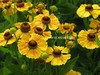 Helenium 'Goldrausch'