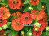 Helenium 'Indianersommer'