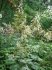 Macleaya microcarpa 'Kelway's Coral Plume'