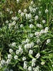 Stachys officinalis 'Alba'