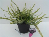 Calluna vulgaris 'Sandy' (GARDEN GIRLS)