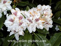 Rhododendron 'Hildegard'