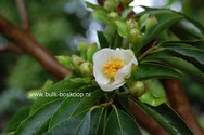 Stewartia monadelpha