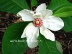 Magnolia 'Charles Coates'