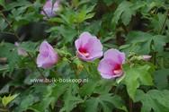 Hibiscus 'Resi'