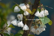 Halesia carolina 'Uconn Wedding Bells'