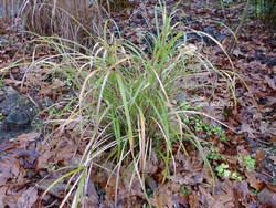 Miscanthus flavidus 'Taiwan'