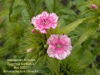 Dianthus barbatus