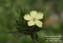 Dianthus knappii