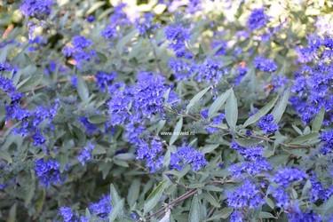 Caryopteris clandonensis 'Kew Blue'