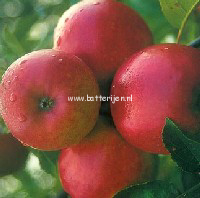 Malus domestica 'Ecolette'