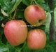 Malus domestica 'Groninger Kroon'