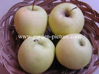 Malus domestica 'Golden Delicious'