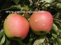 Malus domestica 'Jonagold'