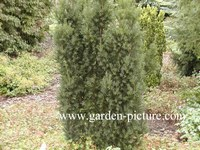 Taxus baccata 'Overeynderi'