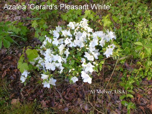 Azalea 'Pleasant White'