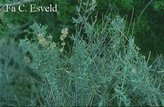 Atriplex