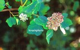 Sorbus torminalis
