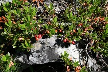 Arctostaphylos uva-ursi